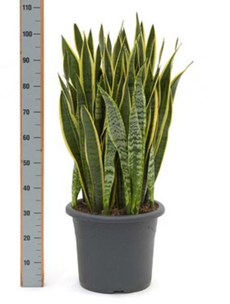 sansevieria-laurentii-110cm