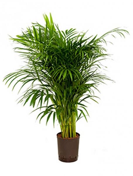Areca lutescens goldfruchtpalme palmenmarkt for Hydrokultur pflanzen versand