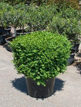 Buxus sempervirens 120 cm - Buchsbaum Kubus