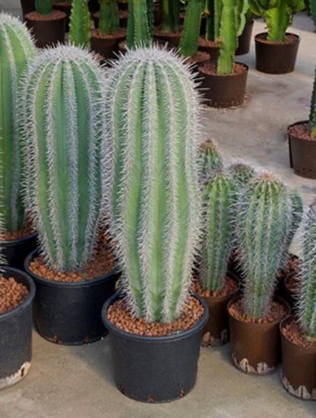 pachycereus-pringlei-100cm