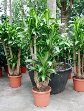 Dracaena massangeana 170 cm - Drachenbaum Verzweigt
