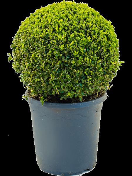 Buxus sempervirens - Buchsbaum Kugel l PR*