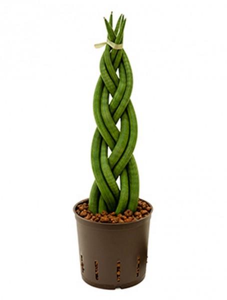 Sansevieria cylindrica Zopf 40 cm   Hydrokultur