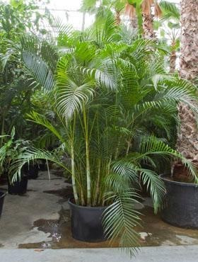 Areca lutescens 325 cm | Busch