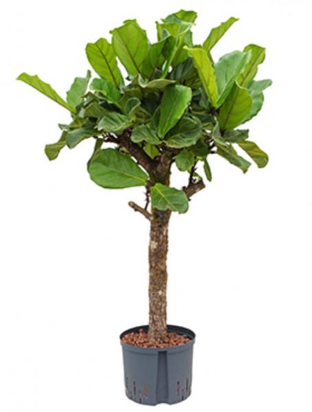 Ficus lyrata 110 cm Hydrokultur