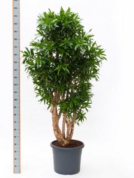 Pleomele song of jamaica 180 cm - Drachenbaum Verzweigt