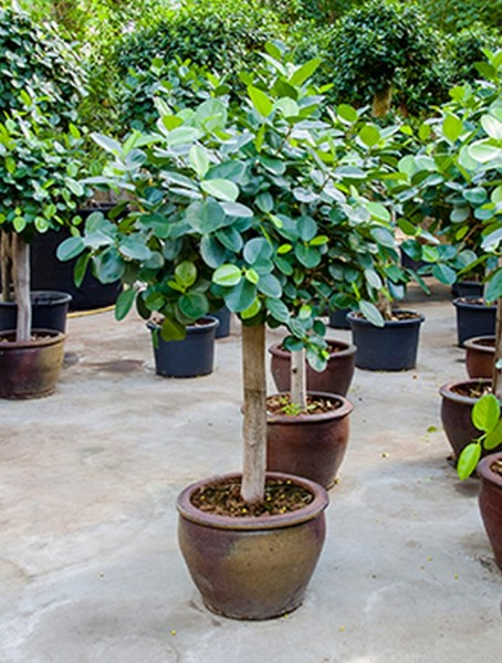 Ficus microcarpa metallica 190 cm
