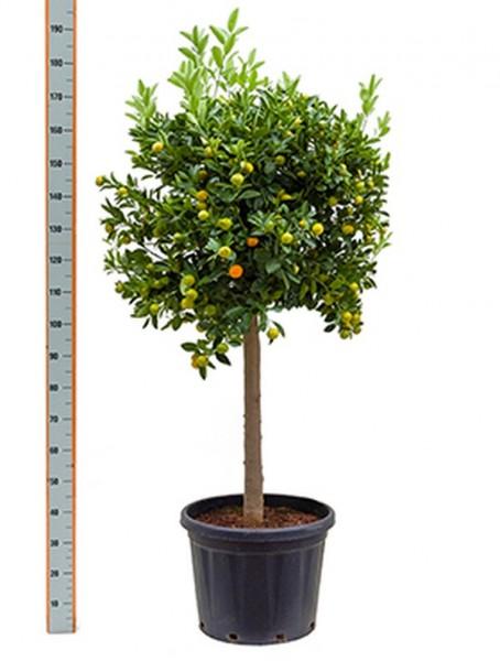 Citrus calamondin-180cm