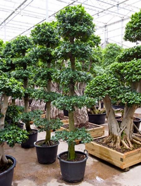 Ficus microcarpa compacta 275 cm