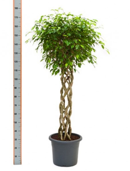 ficus-benjamina-180cm-birkenfeige