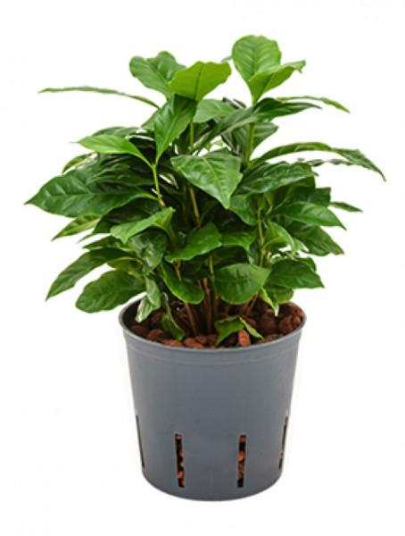 Coffea arabica - Kaffeestrauch 45 cm