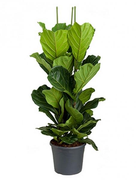 Ficus lyrata 140 cm | Geigenfeige
