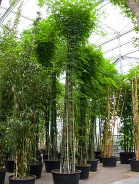 bambusa-siamensis-650cm
