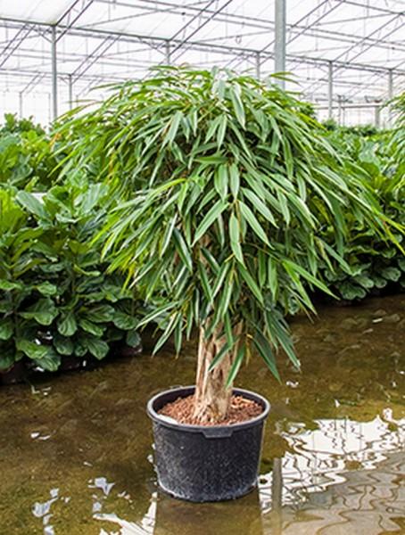 Ficus alii bonsai 150 cm | Oleanderfeige