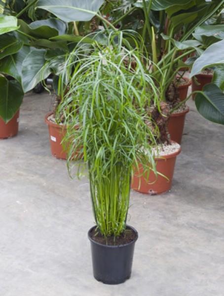 Cyperus alternifolius | Zyperngras