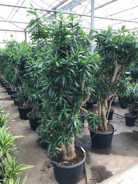 Pleomele song of jamaica 230 cm - Drachenbaum Verzweigt