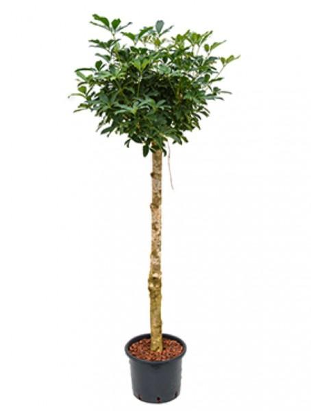 Schefflera arboricola 190 cm