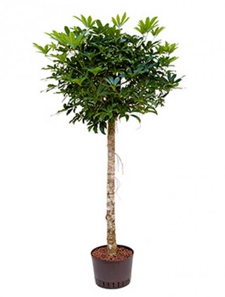 Schefflera arboricola 170 cm  | Strahlenaralie