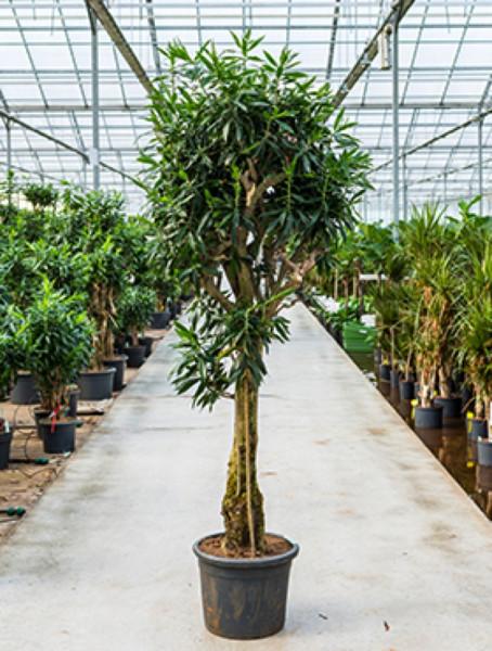 Pleomele reflexa 230cm - Drachenbaum