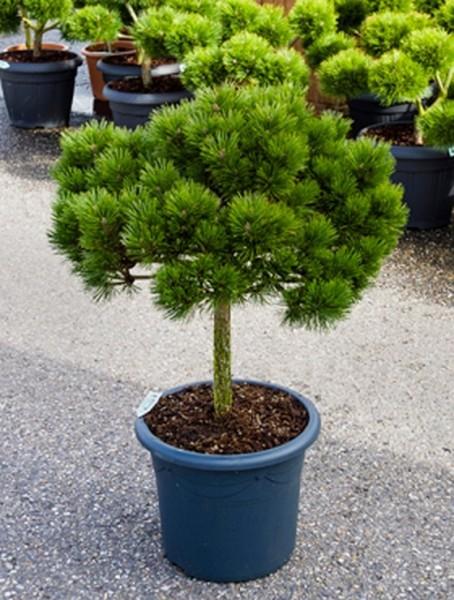 Pinus brepo 95cm