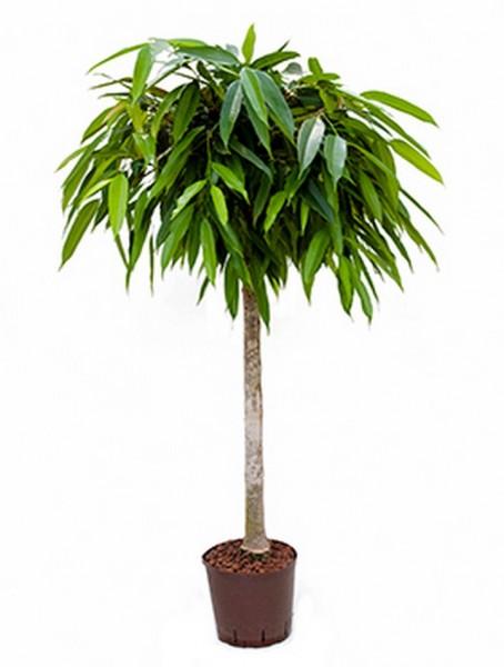 Ficus alii | Oleanderfeige 130 cm