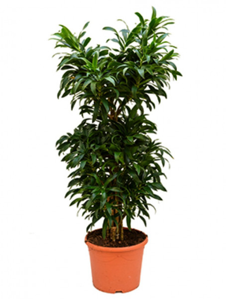 Pleomele reflexa 120 cm - Drachenbaum multistamm
