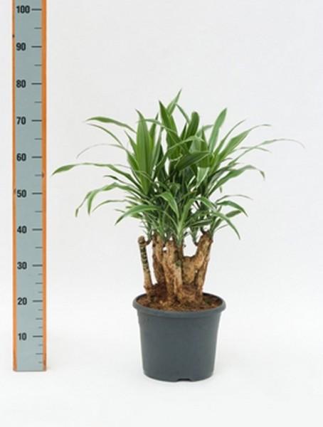 dracaena-deremensis-50cm