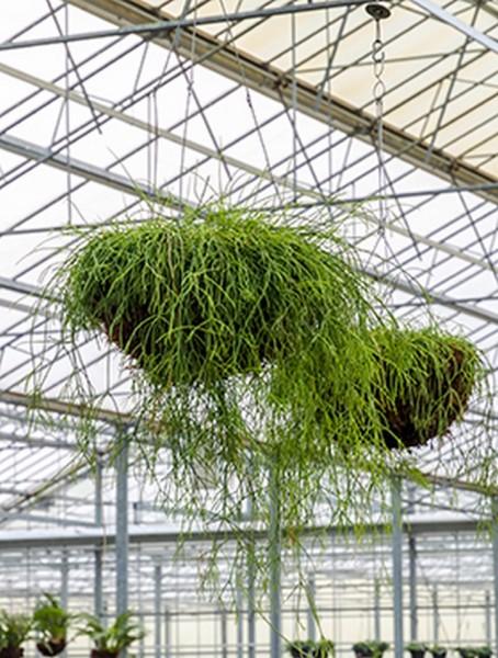 Rhipsalis fine 40 cm | Hängekorb