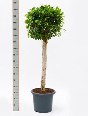 Ficus nitida 160 cm