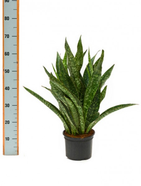 Sansevieria aubrytiana 70 cm | Bogenhanf