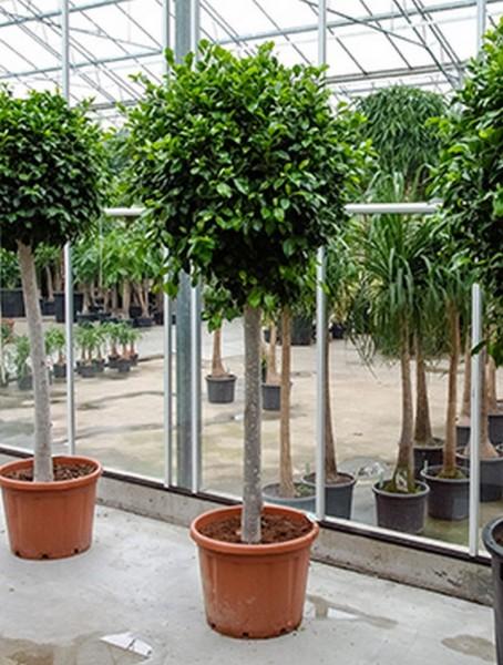 Ficus nitida  220cm