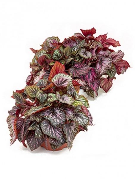 Begonia rex caracas 40 cm | Königsbegonie 3 er Tray