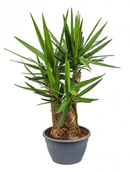 Yucca elephantipes 100 cm | verzweigt