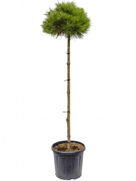 Pinus brepo 190 cm - Schwarzkiefer Hochstamm