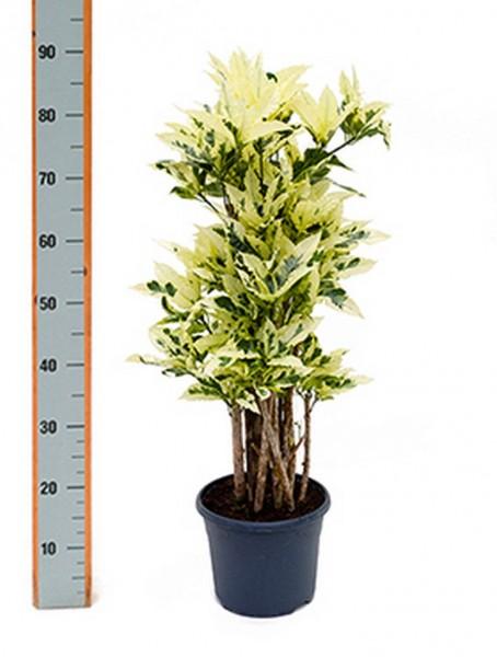 Croton tamara 75 cm Höhe