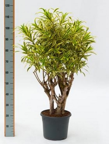 Pleomele song of india 100 cm - Drachenbaum verzweigt