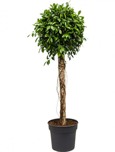 Ficus nitida 180 cm - Lorbeerfeige