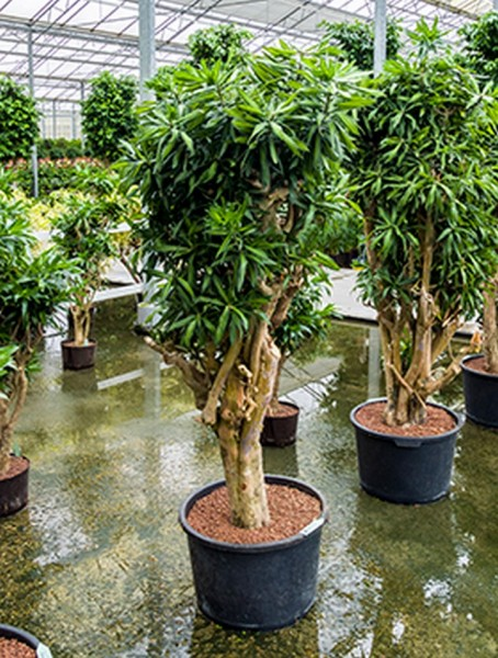 Pleomele song of jamaica 200 cm - Drachenbaum in Hydrokultur