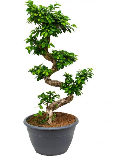 Ficus microcarpa compacta 130 cm - Stamm S