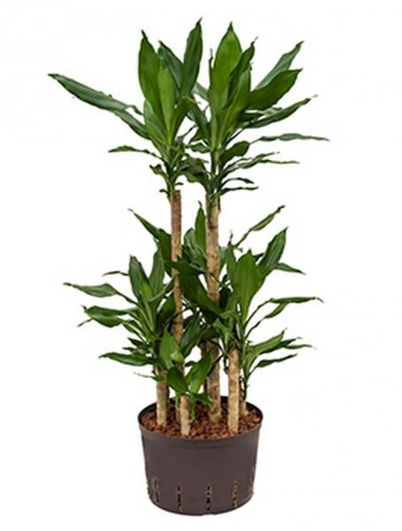 Dracaena fragrans | Drachenbaum 100cm