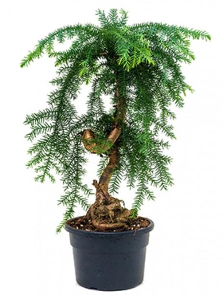 Araucaria cunninghamii 40 cm