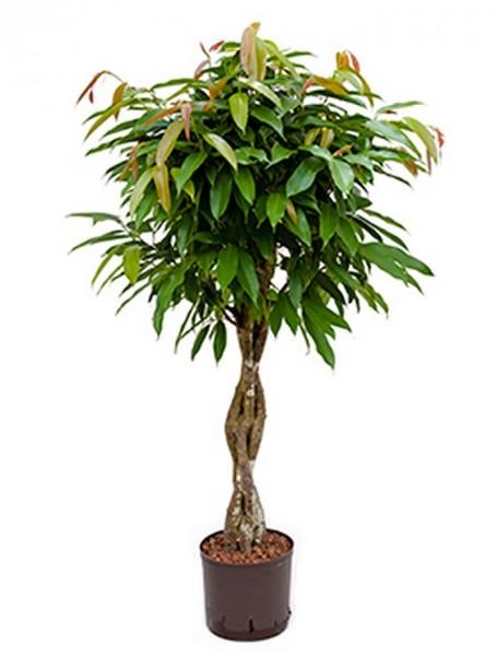 .Ficus amstel king mit geflochtenen Stamm