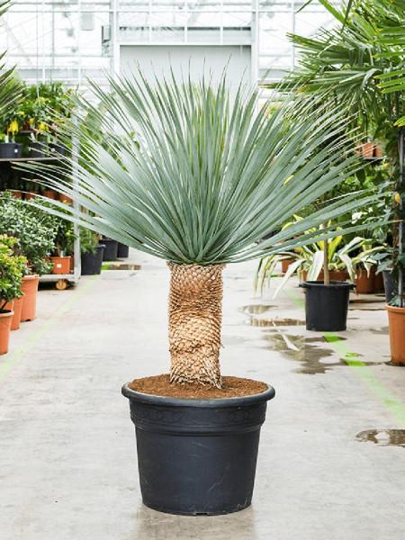 Yucca rostrata 130 cm