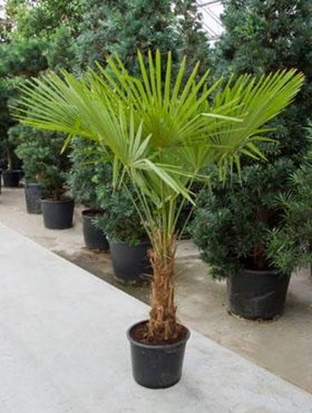 Trachycarpus fortunei 170cm - Hanfpalme