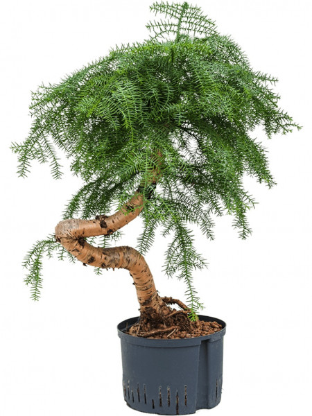 Araucaria cunninghamii 80cm Hydrokultur