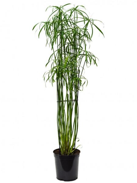 Cyperus alternifolius glaber 140 cm