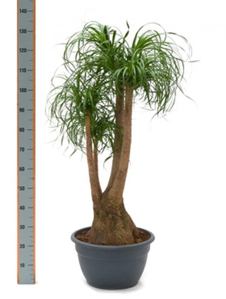 Beaucarnea recurvata 160 cm