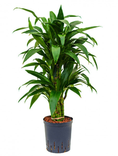 Dracaena janet craig 80cm Drachenbaum Multistamm Hydrokultur