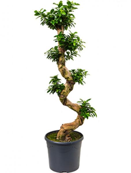 Ficus microcarpa compacta S-Stamm 130 cm