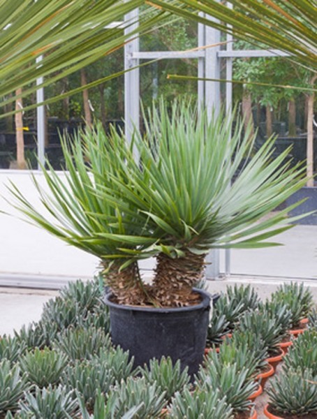 Dracaena draco 160 cm - Kanarischer Drachenbaum